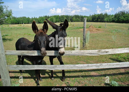 Two black donkeys on a farm behind wooden fence with grass in the background on a sunny day in Pei, Canada - Stock Photo