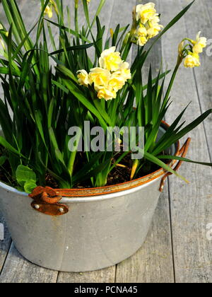 Narcisssus 'Earlicheer' jonquils in aluminium tub, blooming in mid winter - Stock Photo