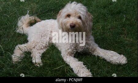 Cockapoo dog lying on grass - Stock Photo