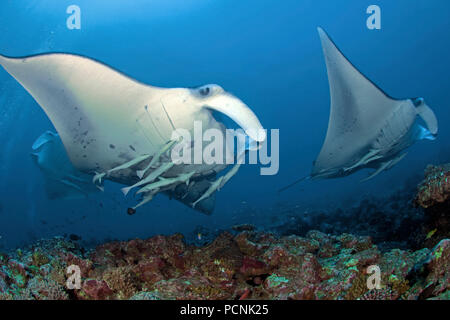 Two Giant oceanic manta rays (Manta birostris) with shark suckers (Remora remora), Yap, Micronesia - Stock Photo