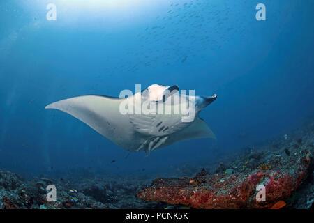 Giant oceanic manta ray (Manta birostris) with shark suckers (Remora remora), Yap, Micronesia - Stock Photo