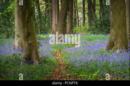 Woodland path through bluebells Hyacinthoides non-scripta in spring - Stock Photo