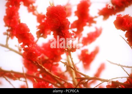 The red blossoms of the peach tree Kurowaka yaguchi, Prunus persica, in spring. - Stock Photo