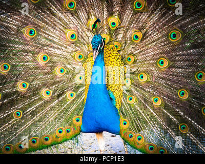 Colorful peacock and its wonderful tail. - Stock Photo
