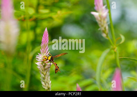 Close up of bee collecting nectar from cockscomb flowers - Stock Photo