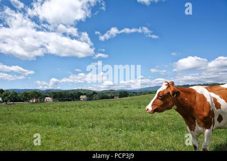 livestock at pastureland nearby lubawka (former liebau). poland, lower silesia, europe - Stock Photo