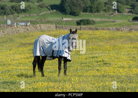Horse in pasture wearing a flyrug and fly protection on its face. North Yorkshire, UK. - Stock Photo