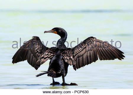 Double-crested cormorant - Phalacrocorax auritus - Stock Photo