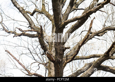 The trunk and branches of the old huge oak tree without leaves. - Stock Photo