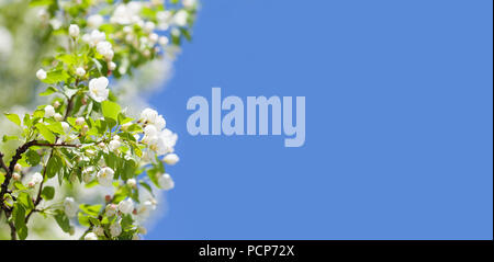 Blossoming apple tree branch. Beautiful springtime garden landscape with white petals flowers, fruit tree against blue sky. Copy space - Stock Photo
