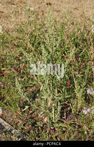 Chenopodium ficifolium - Stock Photo