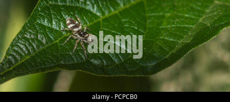 Female zebra spider hunting on a leaf - Stock Photo