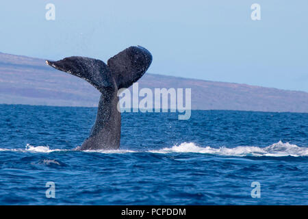 Close up whale tail rises from ocean to slap water - Stock Photo