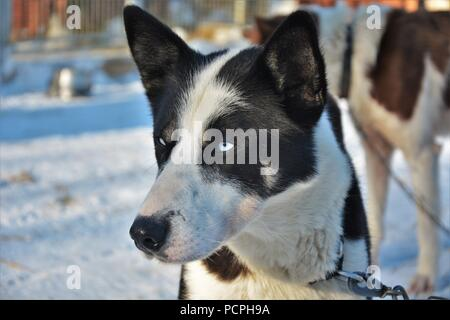 Sled dogs resting in their kennel after a sledding tour - Stock Photo