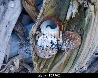 Coloured shells on driftwood in the tsitsikamma national park, garden route, south africa - Stock Photo