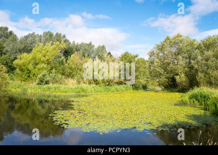 A lake with wild yellow water lilies (Nuphar lutea) in Tees Heritage Park, Stockton on Tees, England, UK