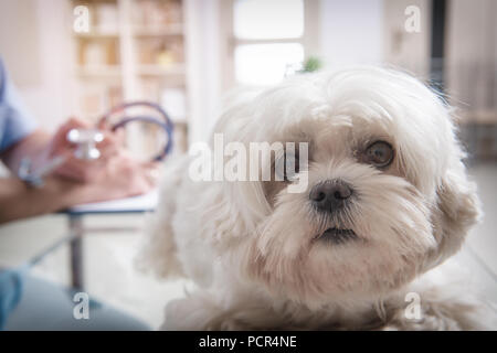 Little maltese dog at the vet office, vet with stethoscope in the background - Stock Photo