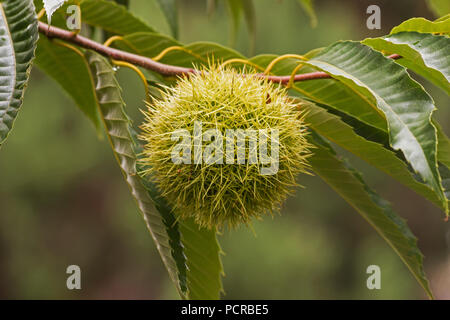 Castanea sativa (Sweet chestnut) tree with fruit - Stock Photo