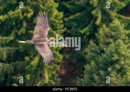 Black Stork (juvenile), Ciconia nigra, at Ennepetal Dam, aerial view of Ennepetal - Stock Photo