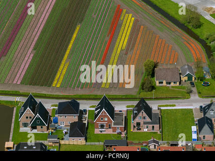 Tulip fields, agriculture, colorful tulip fields, tulips (lat.Tulipa), ornamental flowers, Zuidermeer, Holland, North Holland, Netherlands, Europe - Stock Photo