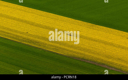 Tulip fields, agriculture, colorful tulip fields, tulips (lat.Tulipa), ornamental flowers, Zuidoostbeemster, Holland, North Holland, Netherlands, Europe - Stock Photo