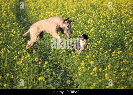 Irish Wolfhound and mongrel dog playing - Stock Photo