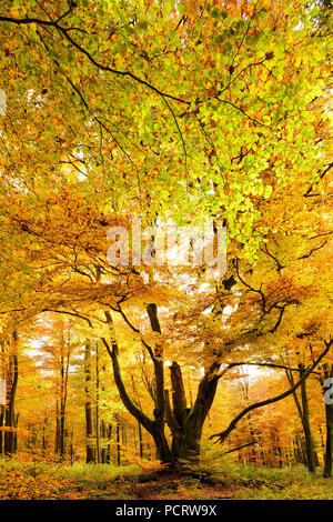 Huge old moss-covered beech tree in the near-natural foliaceous forest in autumn, Spessart nature park, Weibersbrunn, Bavaria, Germany, Europe - Stock Photo