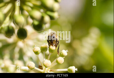 Bee collecting pollen on White flower with blurred green background photo - Stock Photo