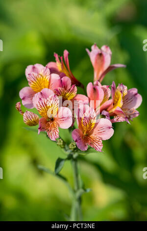 beautiful alstroemeria tricolour, hybrid pink and yellow flowers peruvian lily or lily of the incas. - Stock Photo