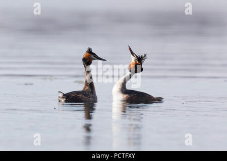 Great Crested Grebe, Podiceps cristatus, couple courting - Stock Photo