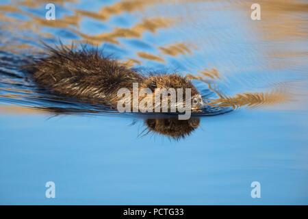Nutria, coypu, Myocastor coypus - Stock Photo