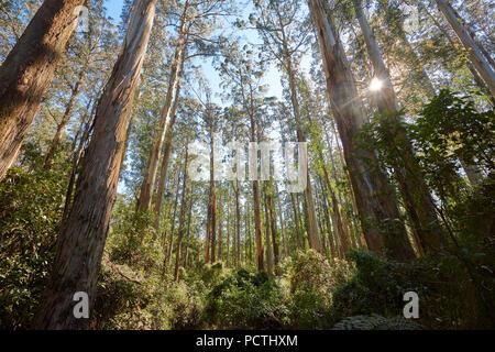 Landscape, Rainforest, Eucalyptus (Eucalyptus Ranges), Dandenong Ranges National Park, Melbourne, Victoria, Australia, Oceania - Stock Photo