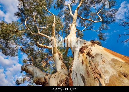 Eucalyptus (Eucalyptus), Melbourne, Victoria, Australia, Oceania - Stock Photo