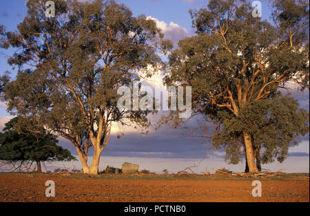 LARGE GUM TREES, MANILDRA IN CABONNE COUNTRY, NEW SOUTH WALES, AUSTRALIA - Stock Photo