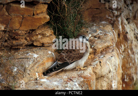 JUVENILE NANKEEN KESTREL (FALCO CENCHROIDES) PERCHED ON ROCK FACE, NULLARBOR, WESTERN AUSTRALIA. - Stock Photo
