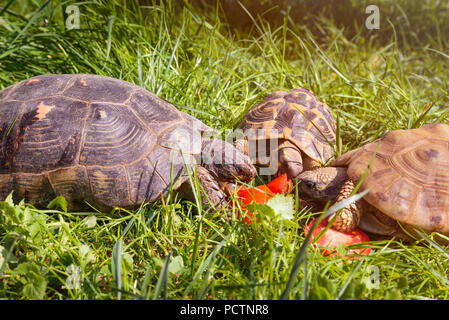 Marginated tortoise (Testudo marginata sarda), to the left, in a green meadow. Typical turtle of Sardinia with two common turtles - Stock Photo
