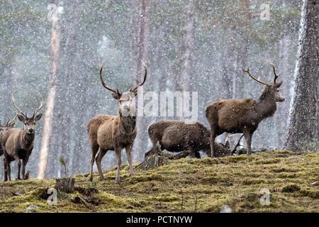 Red Deer; Cervus elaphus Herd; Stags in Snow Scotland; UK - Stock Photo