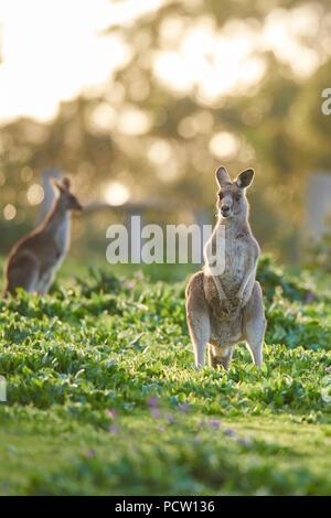 Eastern Gray Kangaroo (Macropus giganteus), meadow, standing, Victoria, Australia, Oceania - Stock Photo