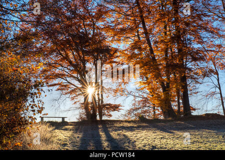 Sunrise with autumnal beech trees, Schlederloh near Icking, Upper Bavaria, Bavaria, Germany - Stock Photo