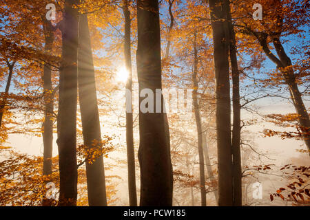 autumnal beeches, morning mist, Schlederloh near Icking, Upper Bavaria, Bavaria, Germany - Stock Photo