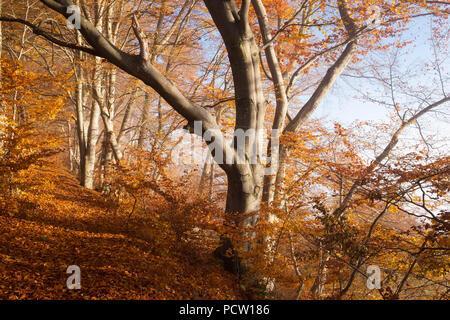 Forest road through autumnal beech forest, Schlederloh near Icking, Upper Bavaria, Bavaria, Germany - Stock Photo