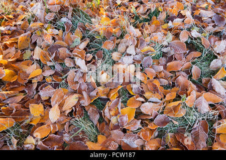 Beech leaves with hoarfrost on meadow, Icking, Upper Bavaria, Bavaria, Germany