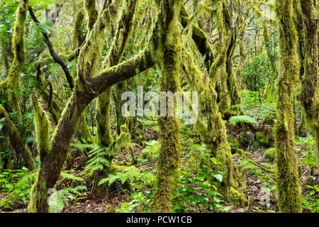 Mossy trees in laurel forest, Garajonay National Park, La Gomera, Canary Islands, Canaries, Spain