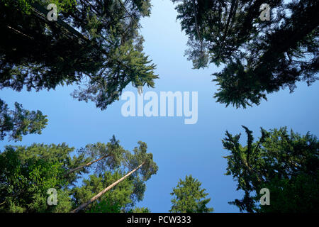 Forest glade, pines, bottom view, against blue sky, Germany, Bavaria, Altötting - Stock Photo