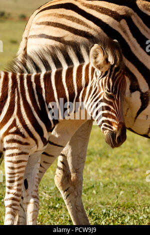 Zebra baby rubbing her head against her mom in the field - Stock Photo
