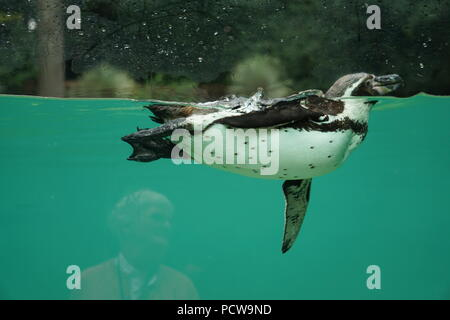 Side view of a lone beautiful penguin swimming in the clear water of the pool at the zoo - Stock Photo