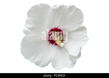 Syrian ketmia rose of Sharon 'Red Heart' white flower with bumblebee. - Stock Photo