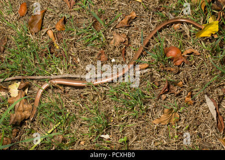 A slow-worm, Anguis fragilis, photographed at night during the UK 2018 hot weather on a dry lawn in a garden in Lancashire North West England UK GB. T - Stock Photo