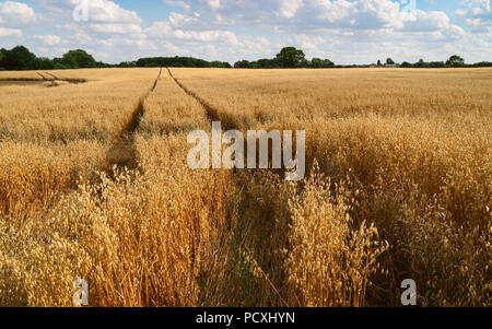 View across field of oats with trees on the horizon under blue sky and wisps of clouds in summer in Beverley, Yorkshire, UK. - Stock Photo