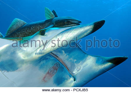 Spiny mobula or Chilean devil ray (Mobula tarapacana) with remora (Echeneidae), close-up, Santa Maria island, Azores, Portugal - Stock Photo